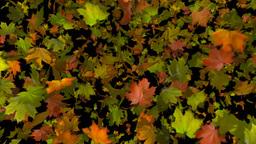 autumn leaf transition Stock Video Footage