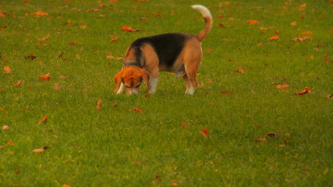 Beagle Dog Stock Video Footage