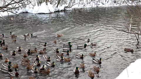2088 Ducks Feed LakeSide HD J96S Stock Video Footage