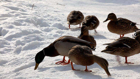2120 Duck Snow Sun HD J96S Stock Video Footage