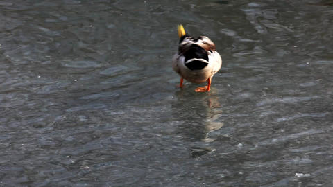 2122 Duck Swim Ice HD J96 Stock Video Footage
