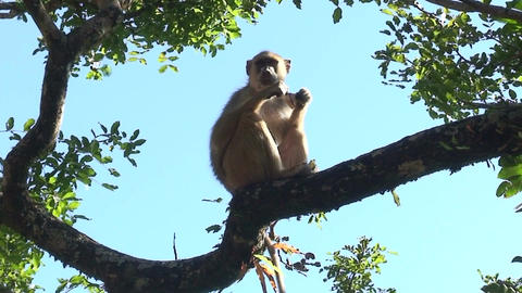 Malawi: monkey eating sugar 2 Stock Video Footage