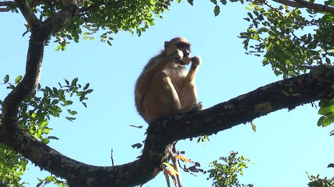 Malawi: monkey eating sugar 2 Footage