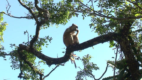 Malawi: monkey eating sugar 4 Stock Video Footage