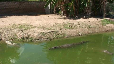 Malawi: crocodiles swim in a water 1 Footage