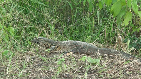 Malawi:Monitor lizard in a wild 2 Stock Video Footage