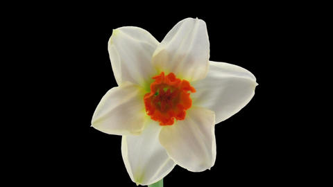 "Stereoscopic 3D time-lapse of opening narcissus ""Barret Browning"" 1 left eye Footage"