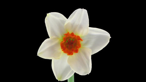"Stereoscopic 3D time-lapse of opening narcissus ""Barret Browning"" 1 right eye Footage"