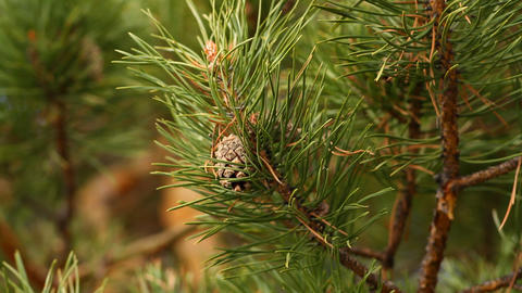 Conifer tree Stock Video Footage