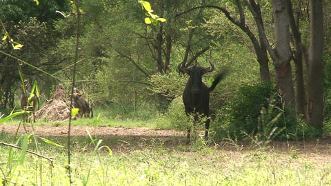 Malawi: blue devil in a wild 3 Stock Video Footage