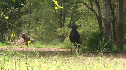 Malawi: blue devil in a wild 3 Stock Video Footage