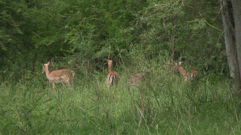 Malawi: impala in a wild 2 Stock Video Footage