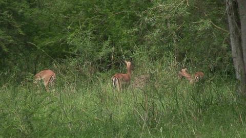 Malawi: impala in a wild 2 Footage