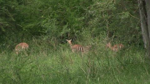 Malawi: impala in a wild 2 Stock Video Footage