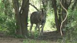 Ha 2009 010 Zebra stock footage