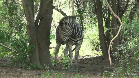 ha 2009 010 zebra Stock Video Footage