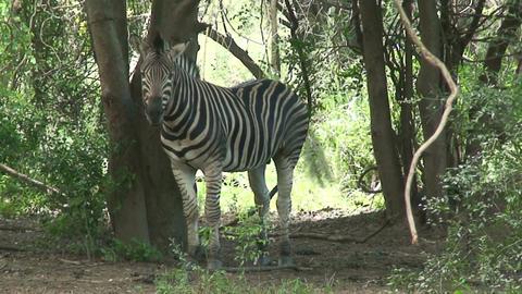ha 2009 010 zebra Stock Video Footage