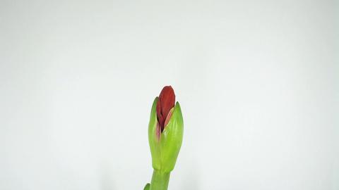 Growing amaryllis flower timelapse 1 Stock Video Footage