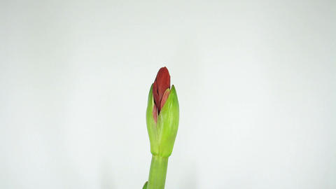 Growing amaryllis flower timelapse 1 Footage