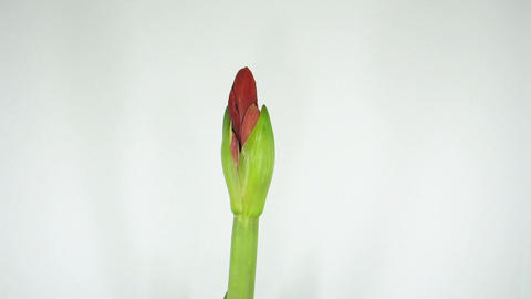 Growing amaryllis flower timelapse 1 Stock Video Footage