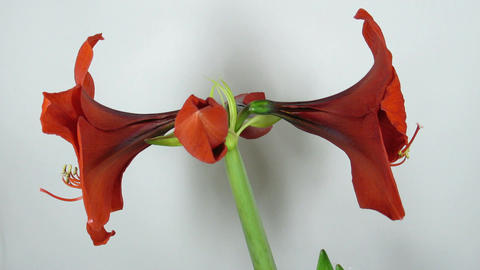 Amaryllis flower blooming timelapse 6 Stock Video Footage