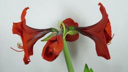Amaryllis flower blooming timelapse 6 Footage
