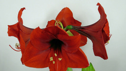 Amaryllis flower blooming timelapse 6 Stock Video Footage