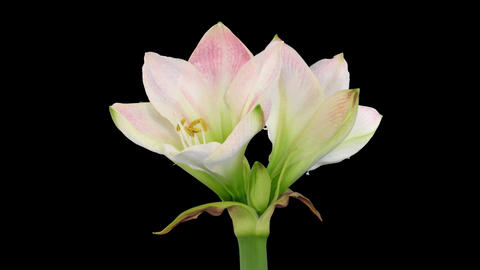 "Time-lapse opening ""Apple Blossom"" amaryllis Christmas flower alpha matte 3 Footage"