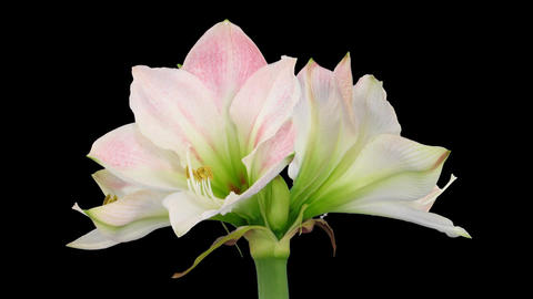 "Time-lapse opening ""Apple Blossom"" amaryllis Christmas... Stock Video Footage"
