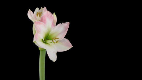 "Time-lapse opening ""Apple Blossom"" amaryllis Christmas flower alpha matte 5 Footage"