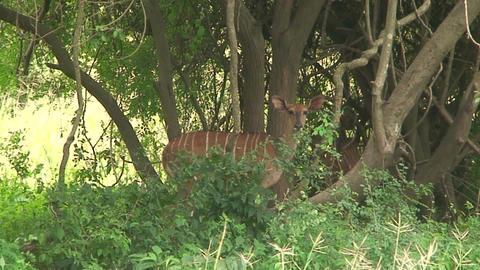 Malawi: impala in a wild 1 Stock Video Footage