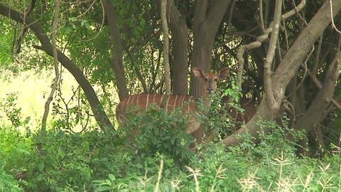 Malawi: impala in a wild 1 Footage