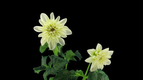 Stereoscopic 3D time-lapse of opening white dahlia 1 (left-eye) Footage