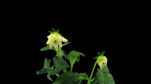 Stereoscopic 3D time-lapse of opening white dahlia 1... Stock Video Footage