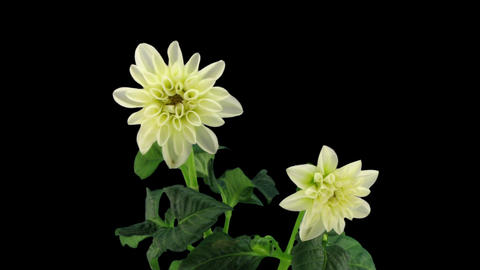 Stereoscopic 3D time-lapse of opening white dahlia 1 (right-eye) Footage