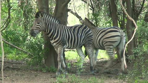 Malawi: zebra in a wild 5 Stock Video Footage
