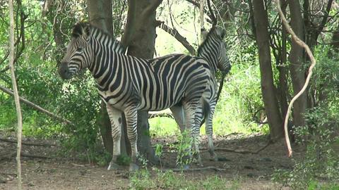 Malawi: zebra in a wild 5 Footage