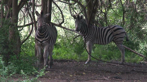 Malawi: zebra in a wild 7 Stock Video Footage