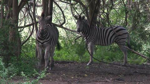 Malawi: zebra in a wild 7 Footage