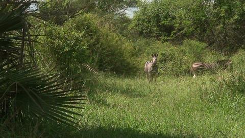 Malawi: zebra in a wild 9 Footage