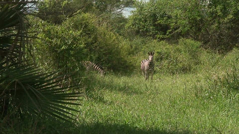 Malawi: zebra in a wild 9 Stock Video Footage