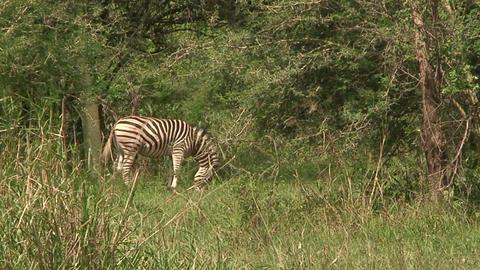 Malawi: zebra in a wild 11 Footage