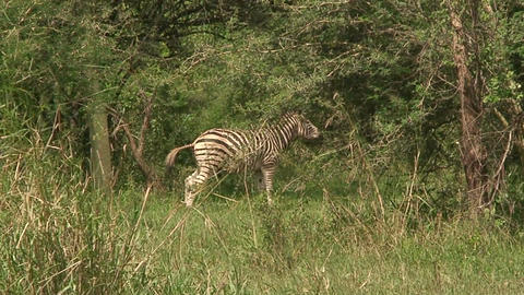 Malawi: zebra in a wild 11 Stock Video Footage