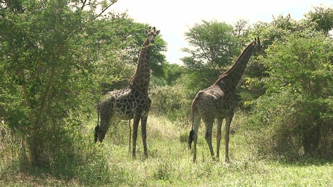 Malawi: giraffe in a wild 6 Live Action
