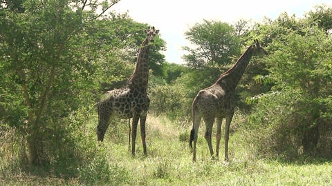 Malawi: giraffe in a wild 6 Stock Video Footage