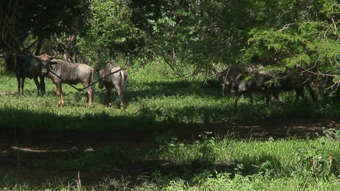Malawi: blue devil in a wild 6 Footage