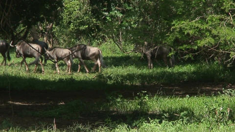 Malawi: blue devil in a wild 6 Stock Video Footage