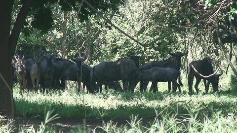Malawi: blue devil in a wild 5 Stock Video Footage