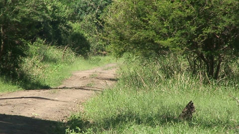 Malawi: impala in a wild crossing the road Stock Video Footage