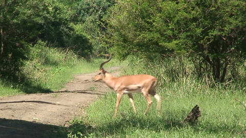 Malawi: impala in a wild crossing the road Footage